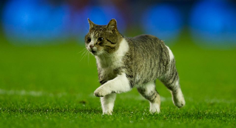 Полосатый кот оказался на домашнем стадионе